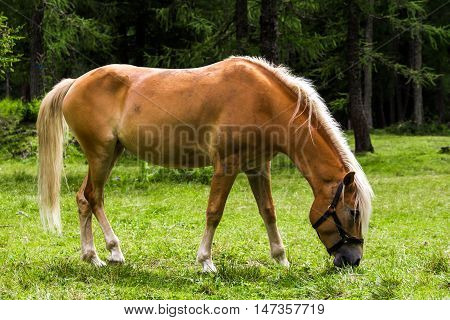 The Haflinger a breed of horse developed in the South Tyrol region