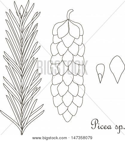 Hand drawn sketch spruce Picea sp., branch, bump, thin black line on white vector illustration