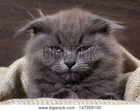 Sleepy annoyed awake cat gets out of the plaid. Cat woke up do not give sleep