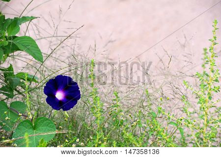 Single purple morning glory blooms among weeds. Natural frame surrounds tan wall in background.