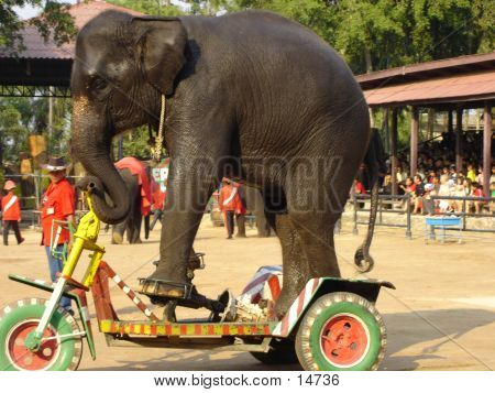 elephant show at nong nooch tropical garden in pattaya, thailand poster