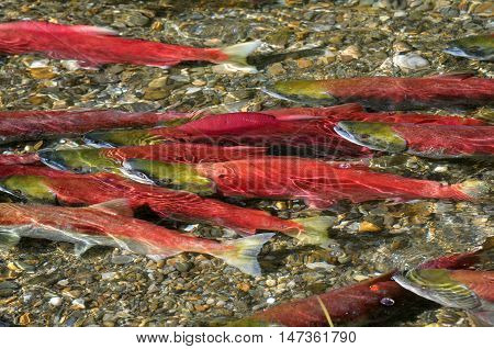 Sockeye Salmon spawning in River, British Columbia, Canada