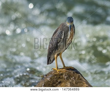 Black Crowned Night Heron in  the wilderness of egypt