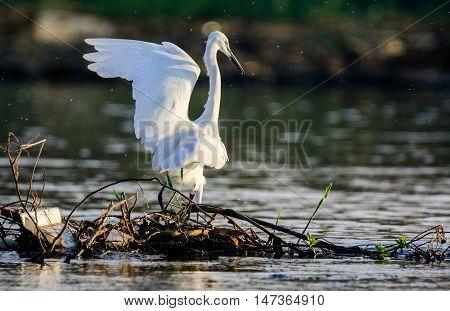 White Little Egret Bird on the Nile of Egypt