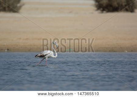 Eurasian Spoonbill migrated bird n the nile of Aswan Egypt