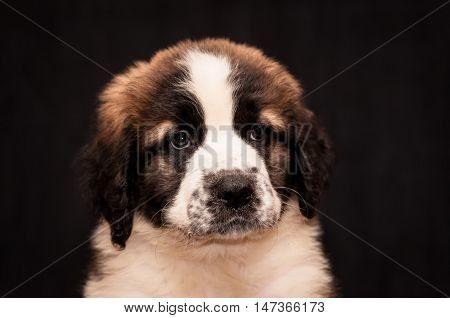 portrait of a puppy Moscow watchdog on a black background