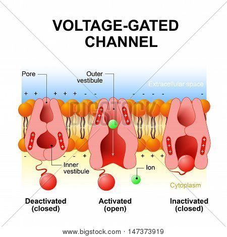 Voltage-gated channels. inactivation gate deactivation and activation ion channel. Open and close gate. Interior of the cell is negatively charged and the exterior is positively charged and vice versa