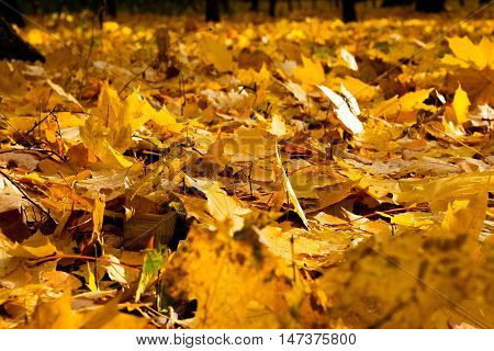 he painting of the yellow autumn leaves as background