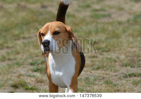 Sweet faced beagle puppy dog roaming free