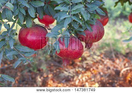 Pomegranates In The Fall