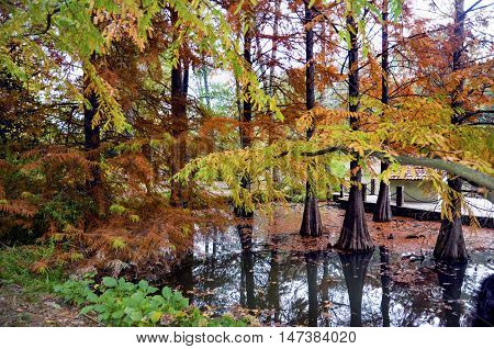Autumnal scene (Taxodium distichum) orange and red leaves on trees. One of its main features is the shedding of leaves from deciduous trees. Atatürk Arboretum is an arboretum in Bahçeköy Sarıyer Istanbul Province Turkey.