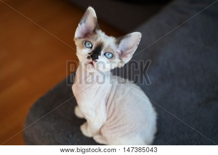 Adorable extraordinary looking devon rex kitten with blue-eyes, looking at the camera.