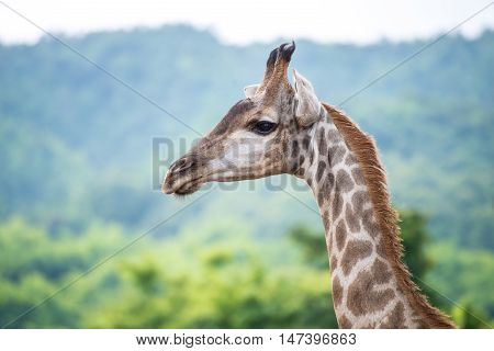Giraffe the tallest animal. The giraffe (Giraffa) is a genus of African even-toed ungulate mammals, the tallest living terrestrial animals and the largest ruminants.