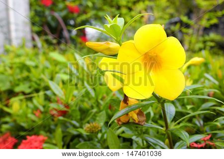 Allamanda cathartica Yellow flower at beautiful. Golden Trumpet willow-leaved climber blooming in the garden.