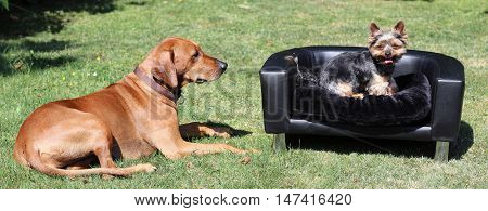 Rhodesian Ridgeback with Yorkshire Terrier on the Couch