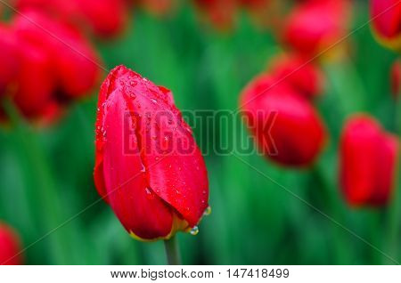 Red tulip in the foreground. Blurring background. Raindrops on the petals of a tulip