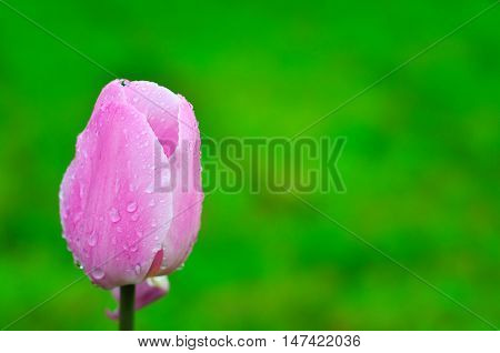 Pink tulip on a green background. Floral card. Raindrops on the petals of a tulip