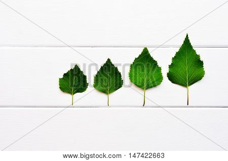 Green leaves on a white wooden background. Birch leaves are like trees. Birch leaves are spread in order