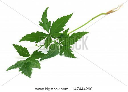 Tender medicinal neem plant over white background
