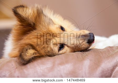 a relaxed shelty dog lies on bed
