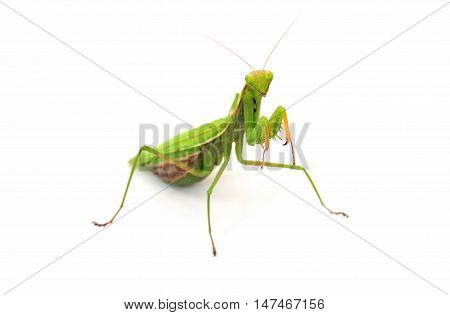 Praying mantis on white background with it's front legs up