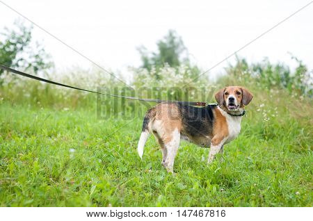 Estonian hound portrait outdoor standing at meadow on lead