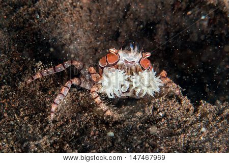 Boxer Crab Underwater Close Up Portrait Macro