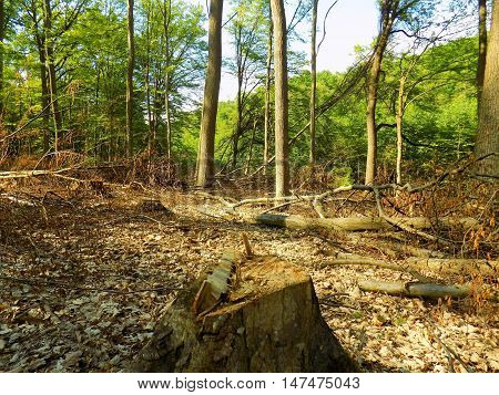 Deciduous forest after wood exploitation in wild nature