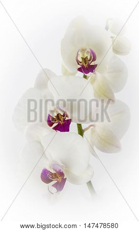 White Orchids on a soft white background