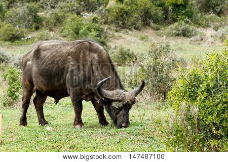 Eating - African Buffalo Syncerus Caffer