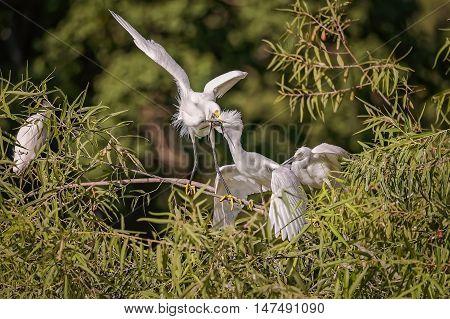 White, Great Egret