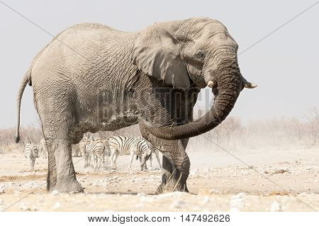 Lonely Elephant At A Waterhole With Zebras In The Background