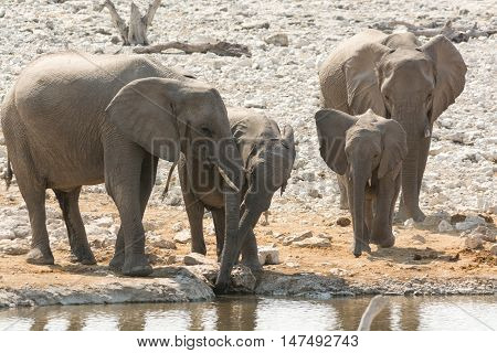 Elephant Family With Calf At Waterhole
