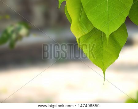 Selective focus of green Bodhi leaves with nature blurred background  (also known as Pipal leaves and Bo leaves) at a Buddhist temple in Bangkok Thailand.