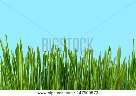 Row of blades of grass growing upright against blue background to represent land and sky. Copy space above.
