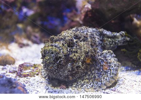 scorpion fish in aquarium close up view