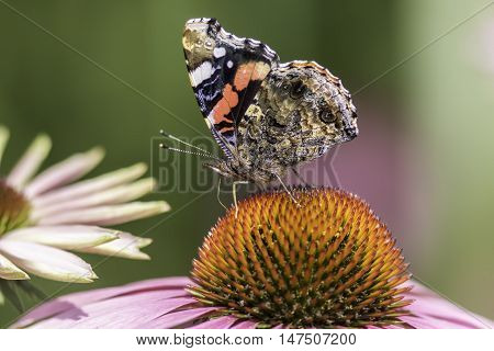 Red Admiral butterfly (Vanessa atlanta) in profile with wings up on an Echinacea purpurea flower.