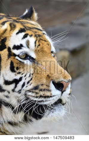 Head of a young male tiger. (Panthea tigris atlaica)