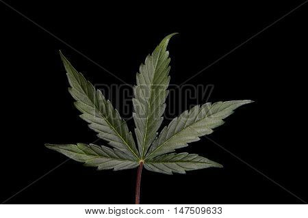 Single cannabis / hemp leaf on black background.