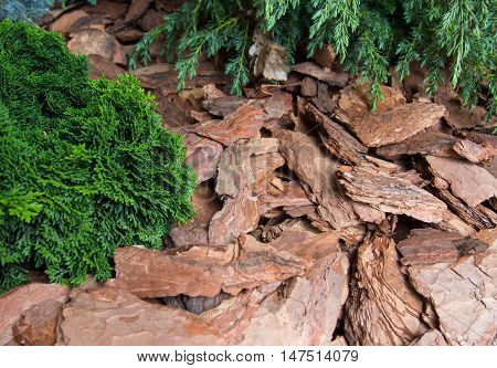 Plants mulch pieces of pine bark a wood