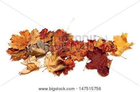Autumn Dried Multicolor Maple Leafs