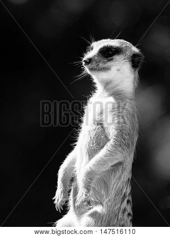 Meerkat, aka suricate, as a guard on alert. Small african carnivore. Black and white image.