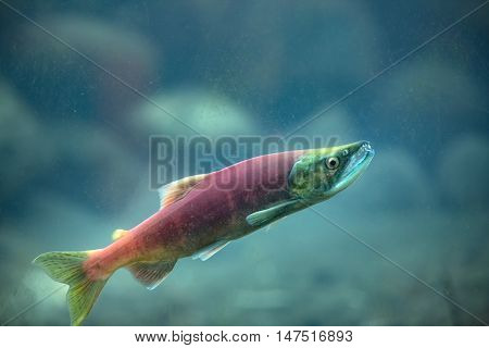 Kokanee salmon fish underwater, salmon spawning close-up