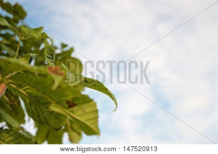 Green and brown chestnut leaves with blue sky background. Slightly added vibrancy. Part of a small series of 5 pictures.