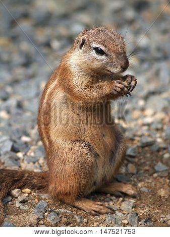 Portrait of earting cape groun squirrel (xerus inauris)