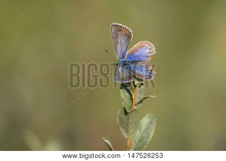 Common Blue (Polyommatus icarus) resting on top of a Shrub