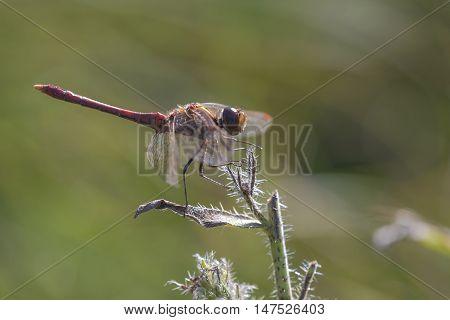 Vagrant Darter (Sympetrum vulgatum) male resting on top of a plant