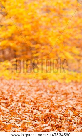 Seasonal specifics. Scenery of autumnal forest. Gold leaves lying on ground.
