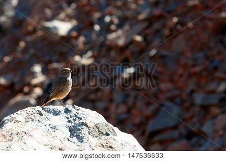 Tiny Brown Bird