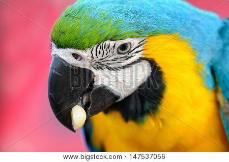 Portriat Blue-and-yellow Macaw - Ara Ararauna